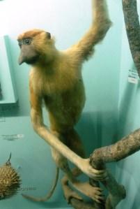 A proboscis monkey at the Horniman Museum